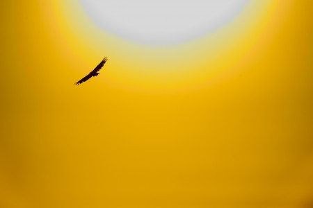 Griffon Vulture and Sun AdF