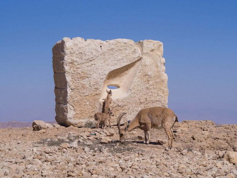 Nubian ibex by a sculpture in Mitzpe Ramon (40383)