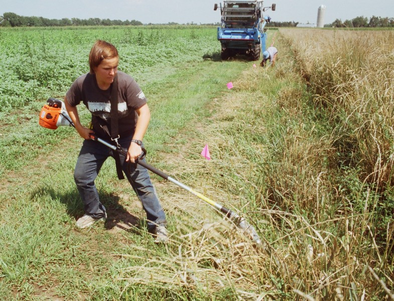 Cutting Thinopyrum intermedium plants with a hedge trimmer