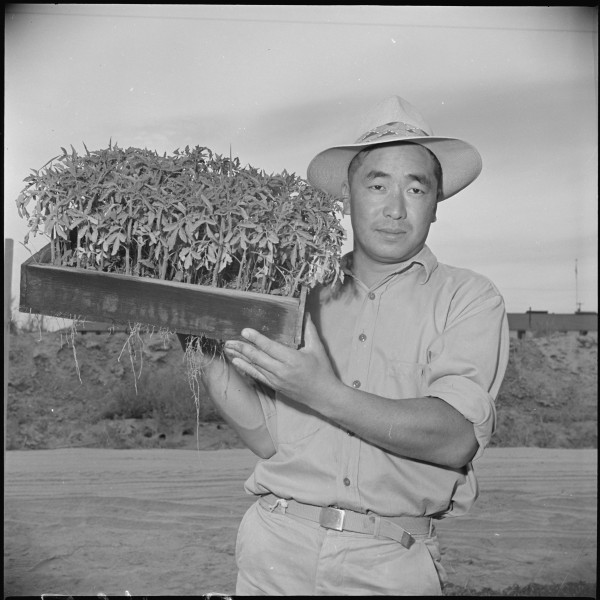 Gila River Relocaton Center, Rivers, Arizona. George Nagamatsu, a farmer with 15 years experience a . . . - NARA - 537077