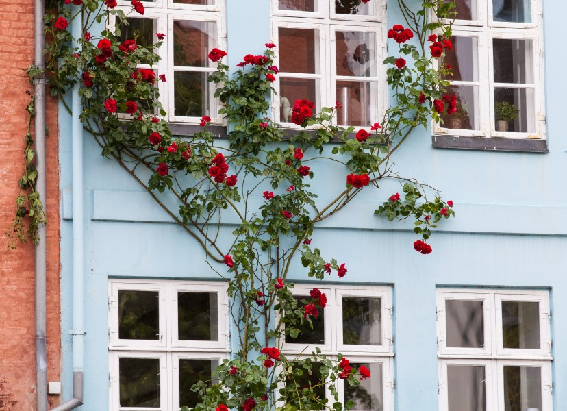 beautiful red flowers in Copenhagen, Denmark, June 2014, picture 79