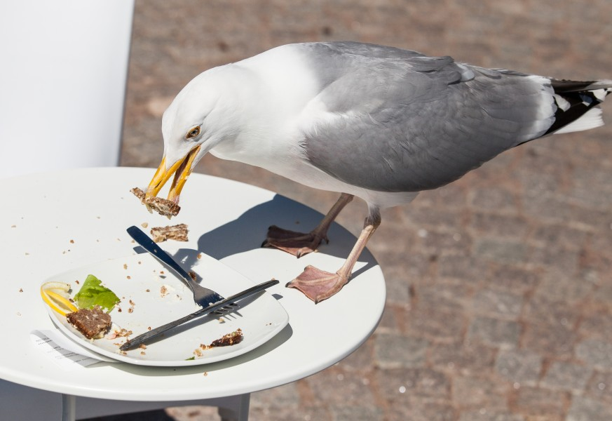 a bird eating from a plate in Gothenburg, Sweden, June 2014, picture 6