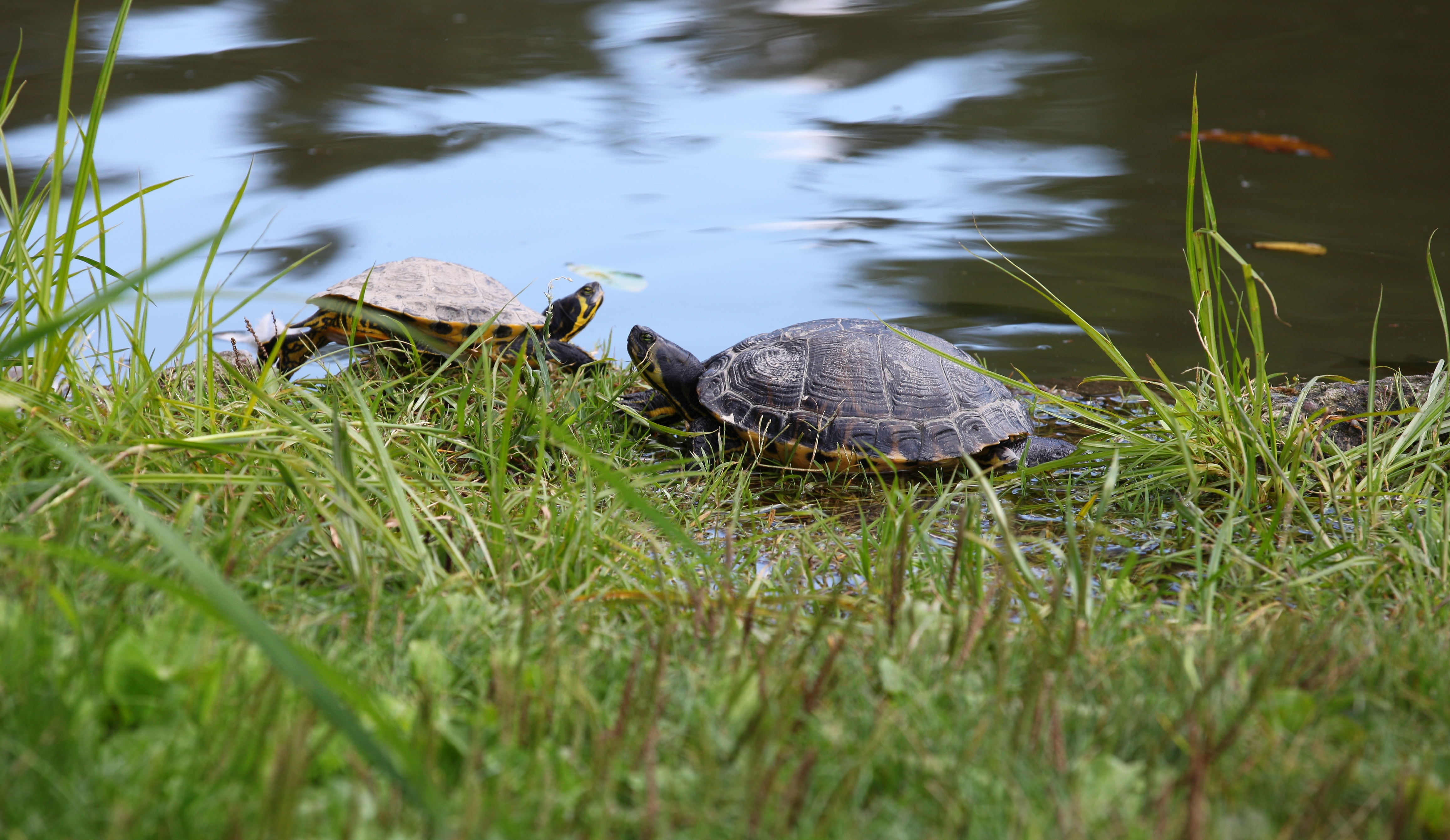 turtles in Milan, Italy, European Union, August 2013, picture 59