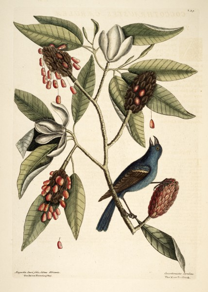 Catesby Natural History of Carolina plate 39 Magnolia virginiana and Blue Grosbeak