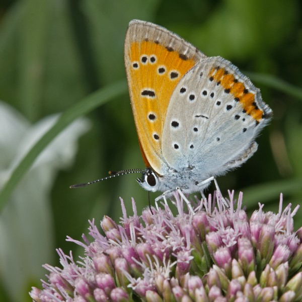 Lycaena Dispar (AM)-left 01