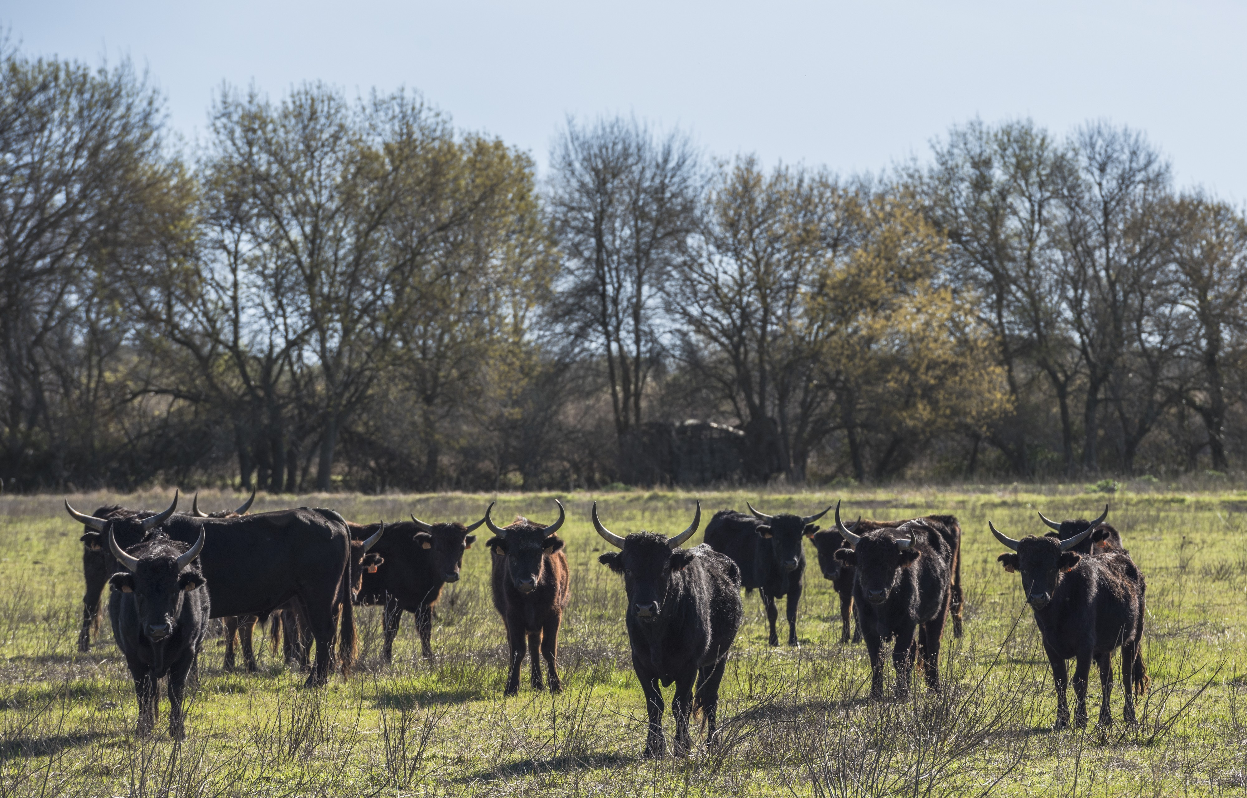Camargue cattle, Saint-Gilles 07