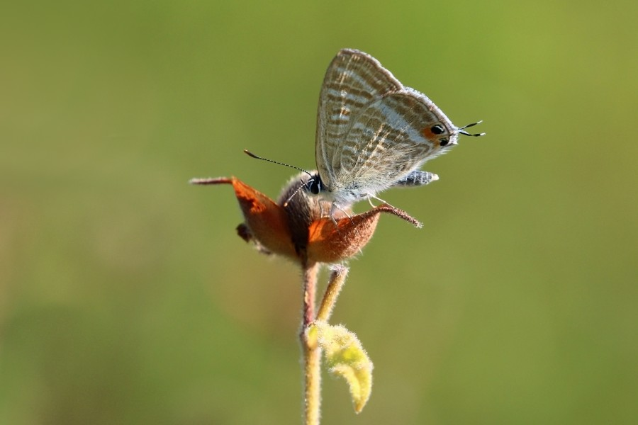 Long-tailed blue (Lampides boeticus) Greece