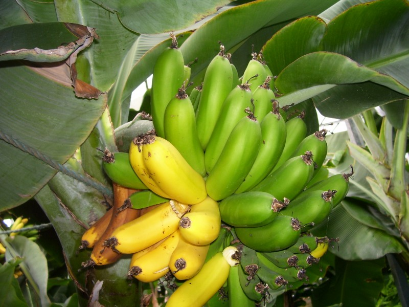 Bananas in Iceland