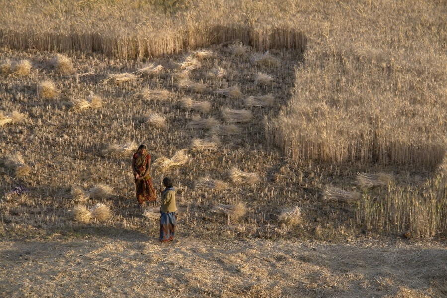 Wheat harvest, Raisen district, Madhya Pradesh, India
