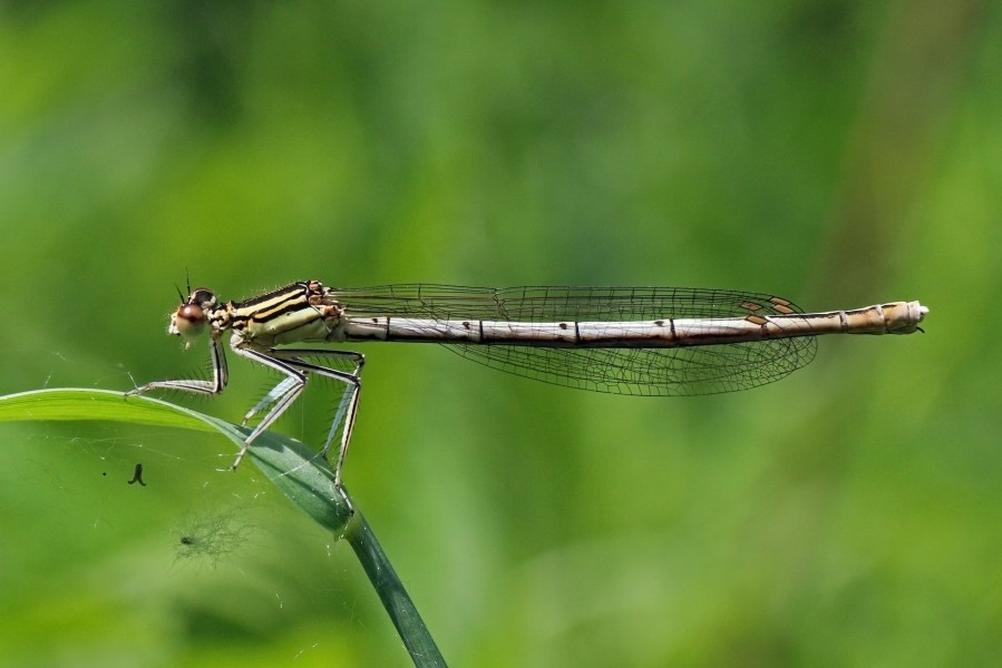 White-legged damselfly (Platycnemis pennipes) female