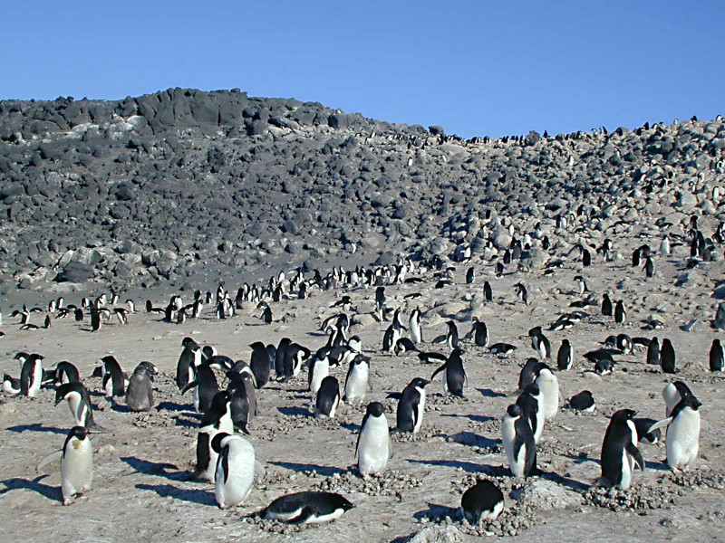 Colony of Adelie Penguin at Cape Royds