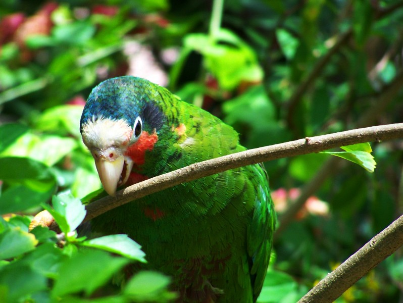 Cuban Amazon Parrot Grand Cayman Island