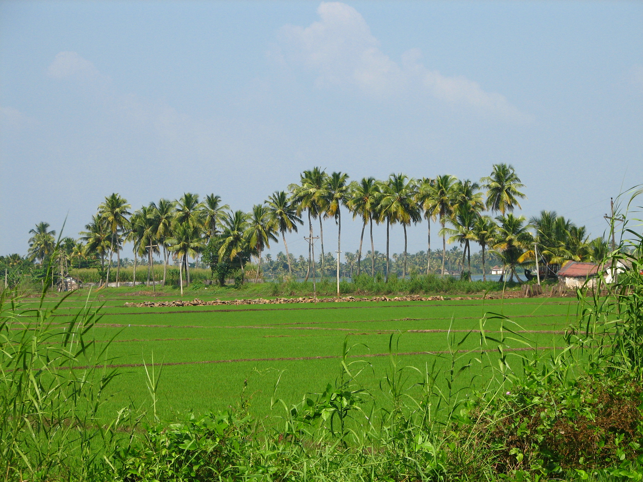 India - Kerala - 008 - paddy fields and palm trees (2068843030)