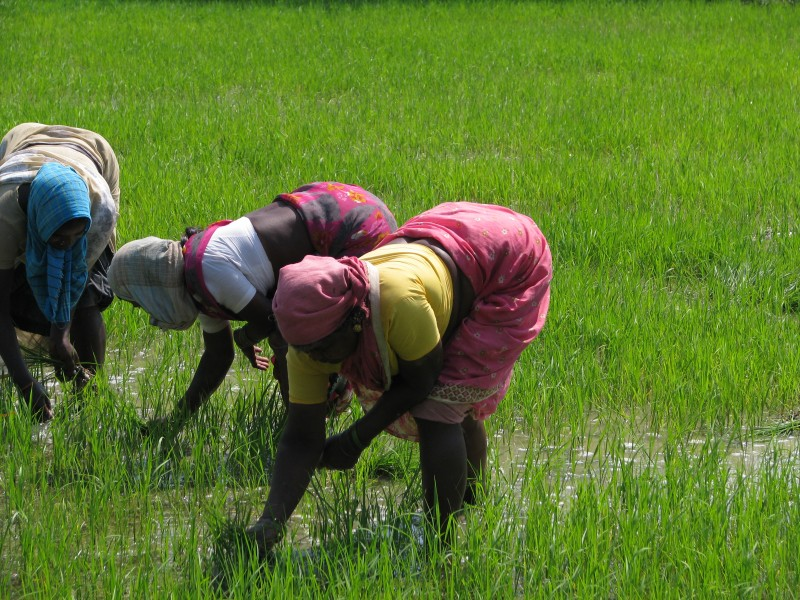 India - Sights & Culture - Planting Rice Paddy 5 (3245008474)