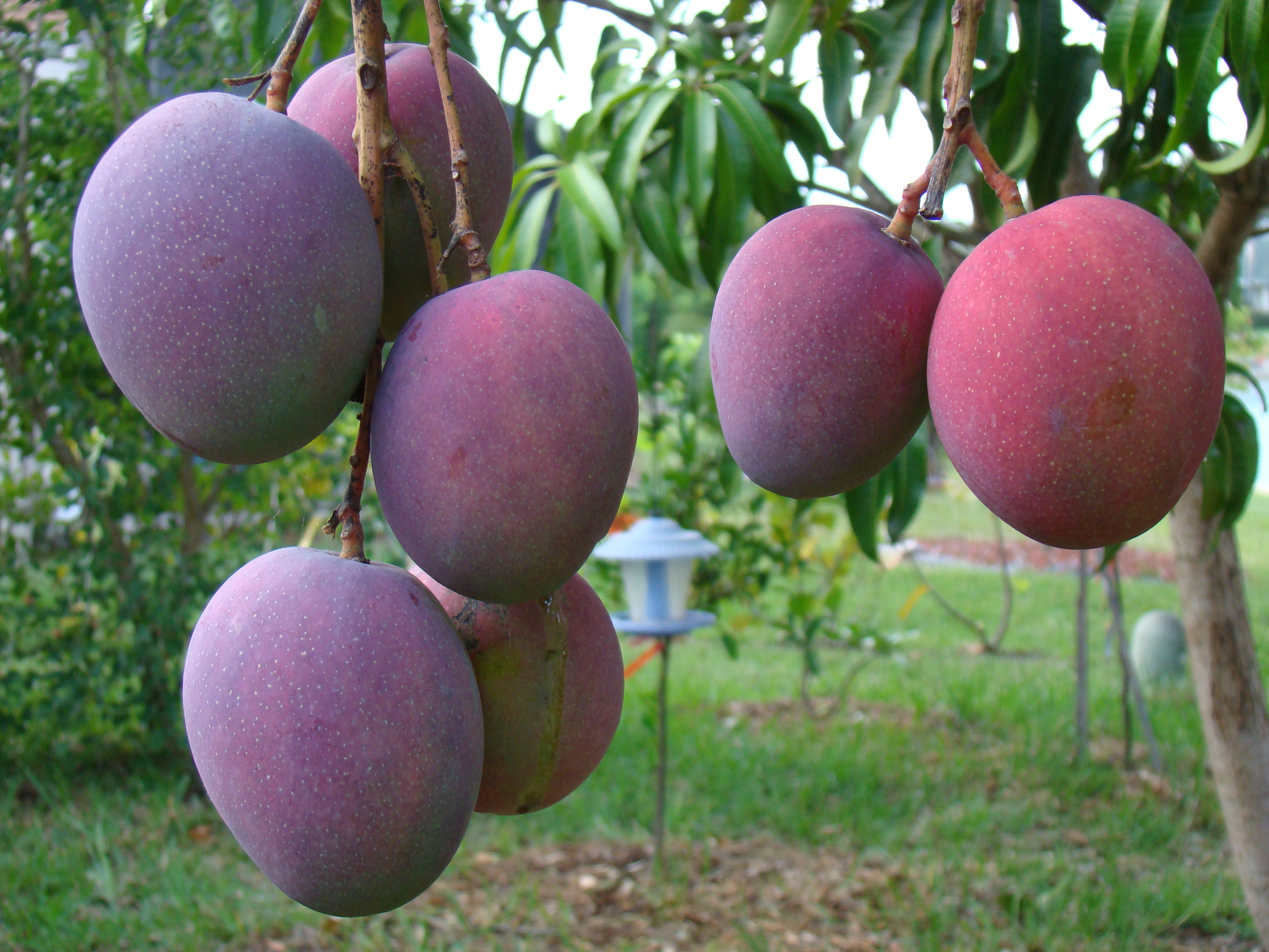 Mangoes on a tree