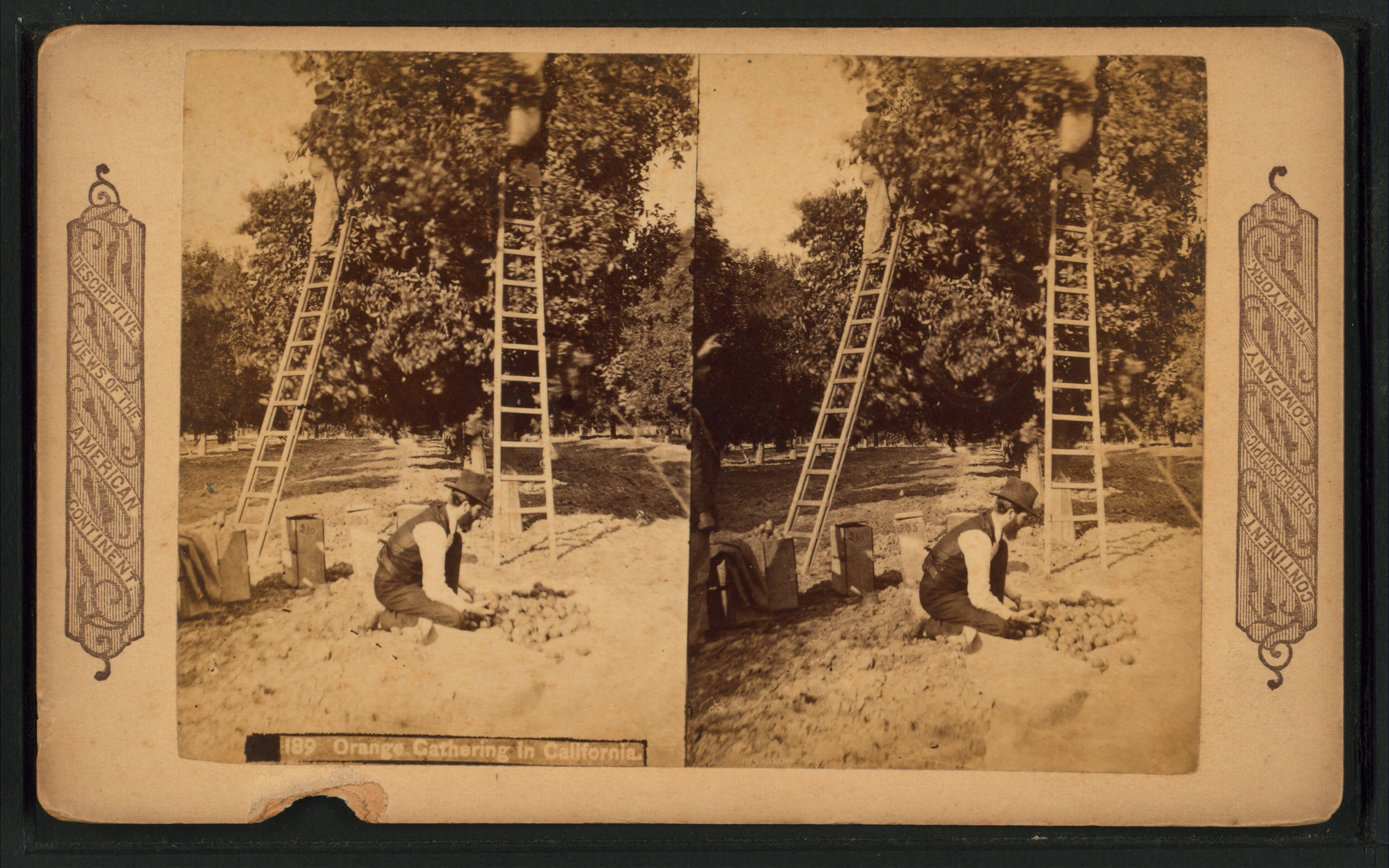 Orange gathering in California, from Robert N. Dennis collection of stereoscopic views