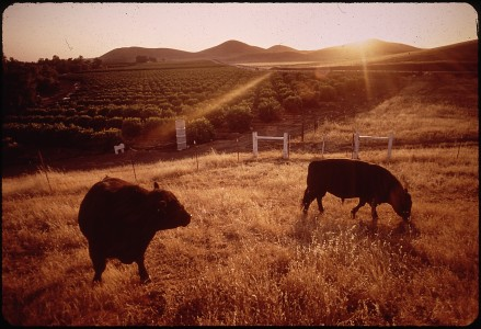 BLACK ANGUS CATTLE AND CITRUS GROVE - NARA - 542652