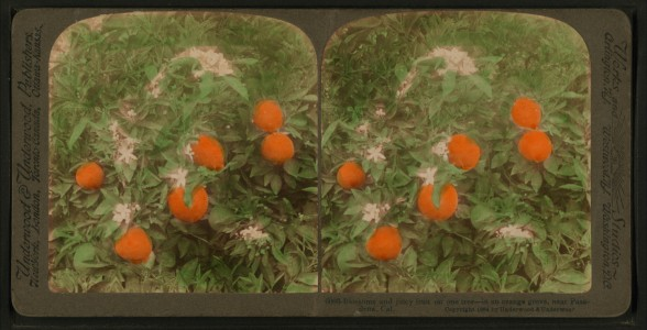 Blossoms and juicy fruit on one tree - in an orange grove, near Pasadena, Cal, by Underwood & Underwood