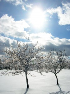 Iced-tree-limbs-in-sun