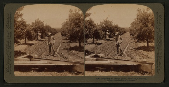 Irrigating an orange grove, Riverside, California, from Robert N. Dennis collection of stereoscopic views