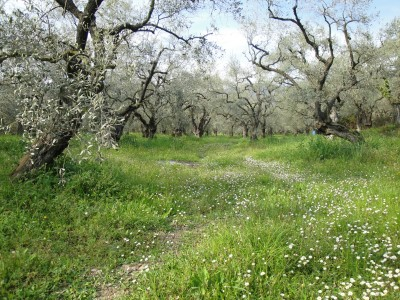 Olive Trees in Pelion, Greece