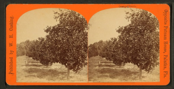 Orange grove, from Robert N. Dennis collection of stereoscopic views