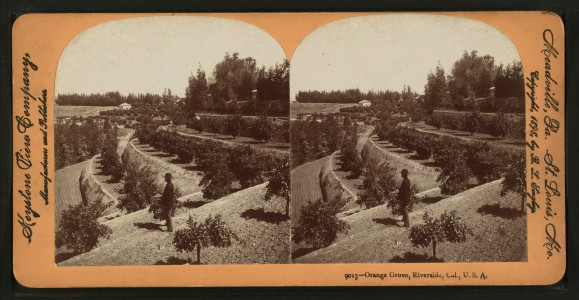 Orange Grove, Riverside, Cal, U.S.A, from Robert N. Dennis collection of stereoscopic views