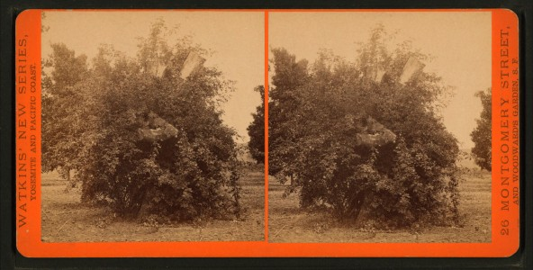 View of an orange tree, by Watkins, Carleton E., 1829-1916