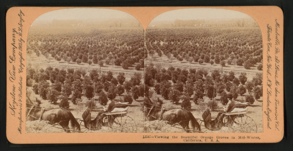 Viewing the beautiful orange groves in mid-winter in California, from Robert N. Dennis collection of stereoscopic views