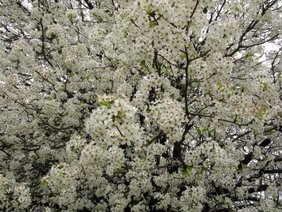 White-flowering-pear - West Virginia - ForestWander