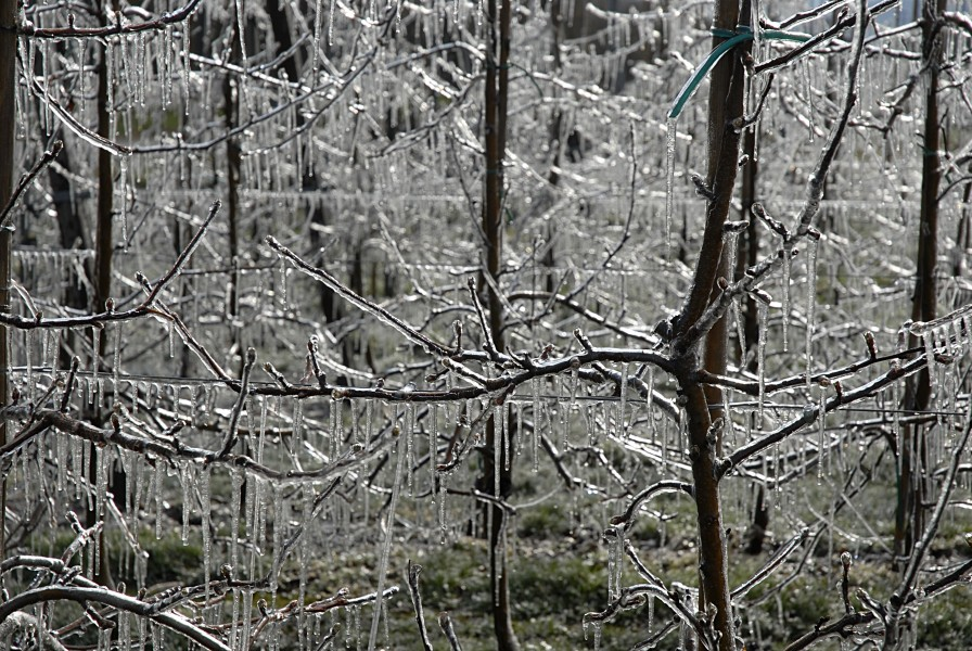 Apple trees covered with ice