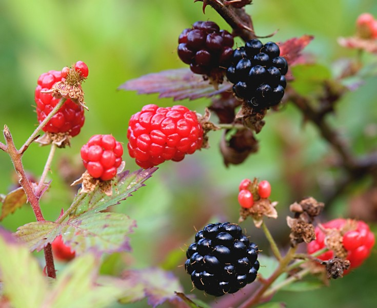 Black and red ripening blackberries