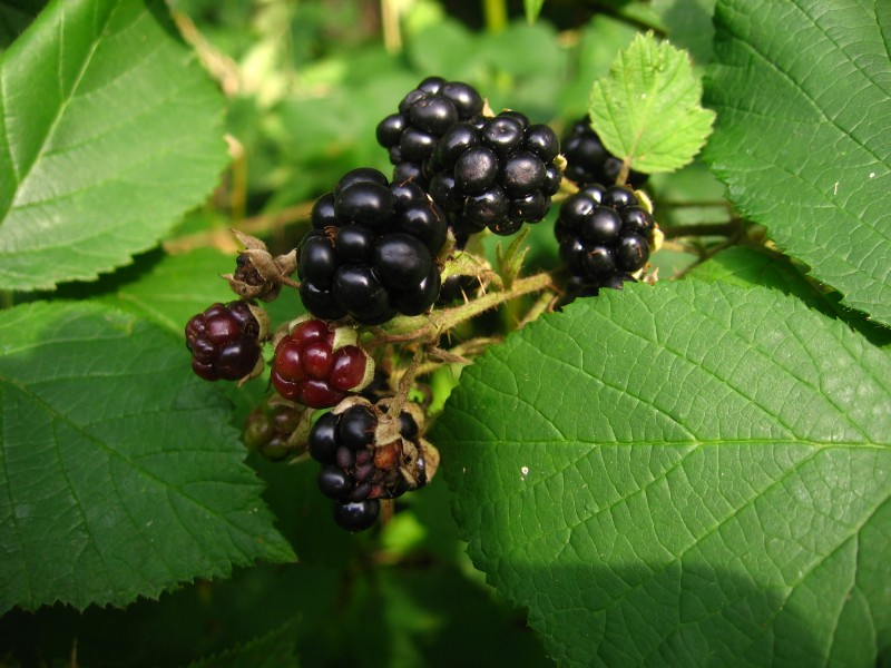 Blackberries-fruit and leaf-2048-A