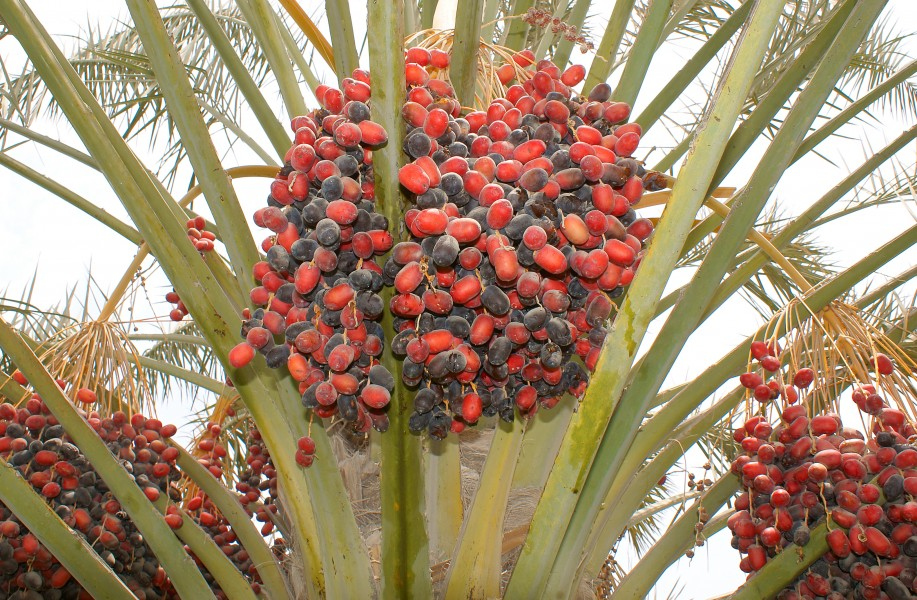 Dates on a phoenix dactylifera 5