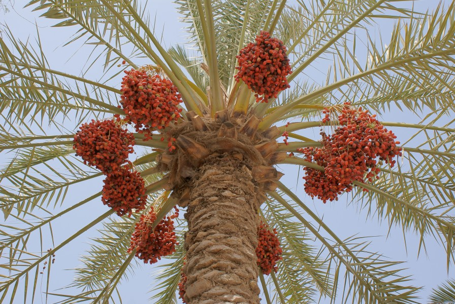 Dates ripening on a phoenix dactylifera 2