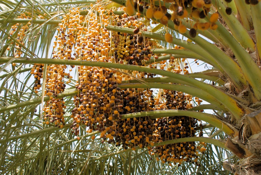 Dates ripening on a phoenix dactylifera.