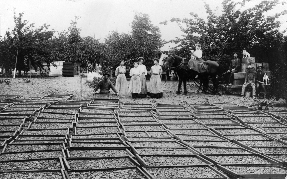 Drying apricots on the George Fox Ranch, Tustin, circa 1910