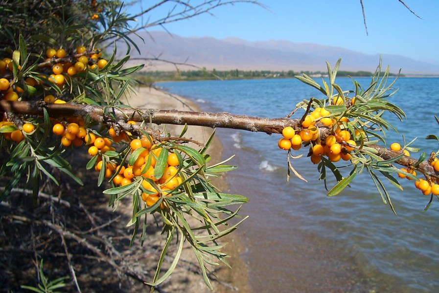 E8305-Kosh-Kol-sea-buckthorn