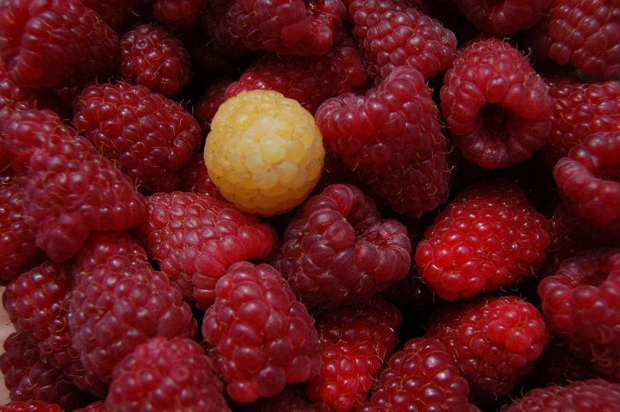 Red raspberries 1 yellow: taken by Lyudmilla Mishonova