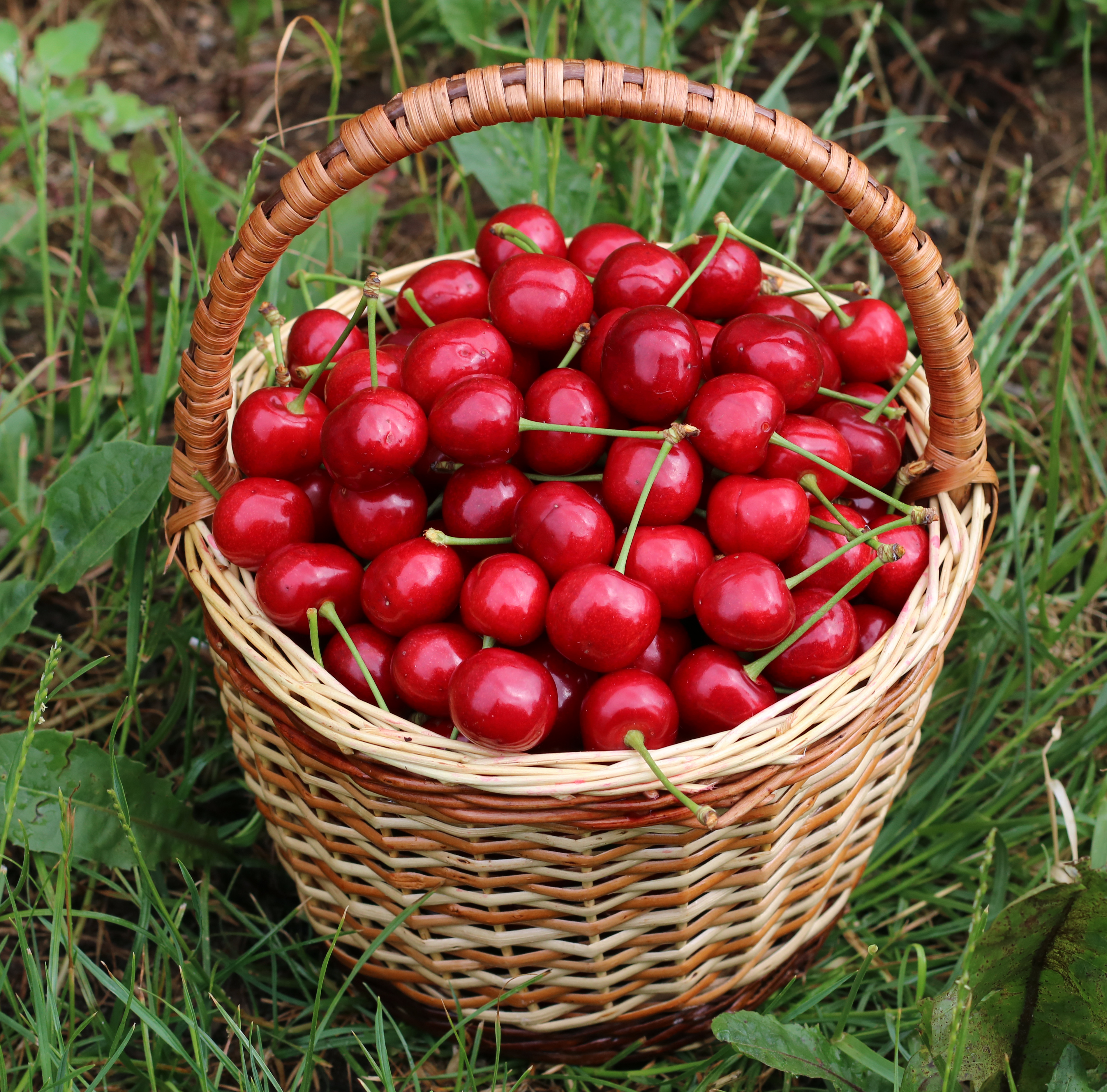 Sweet cherries in basket 2018 G2