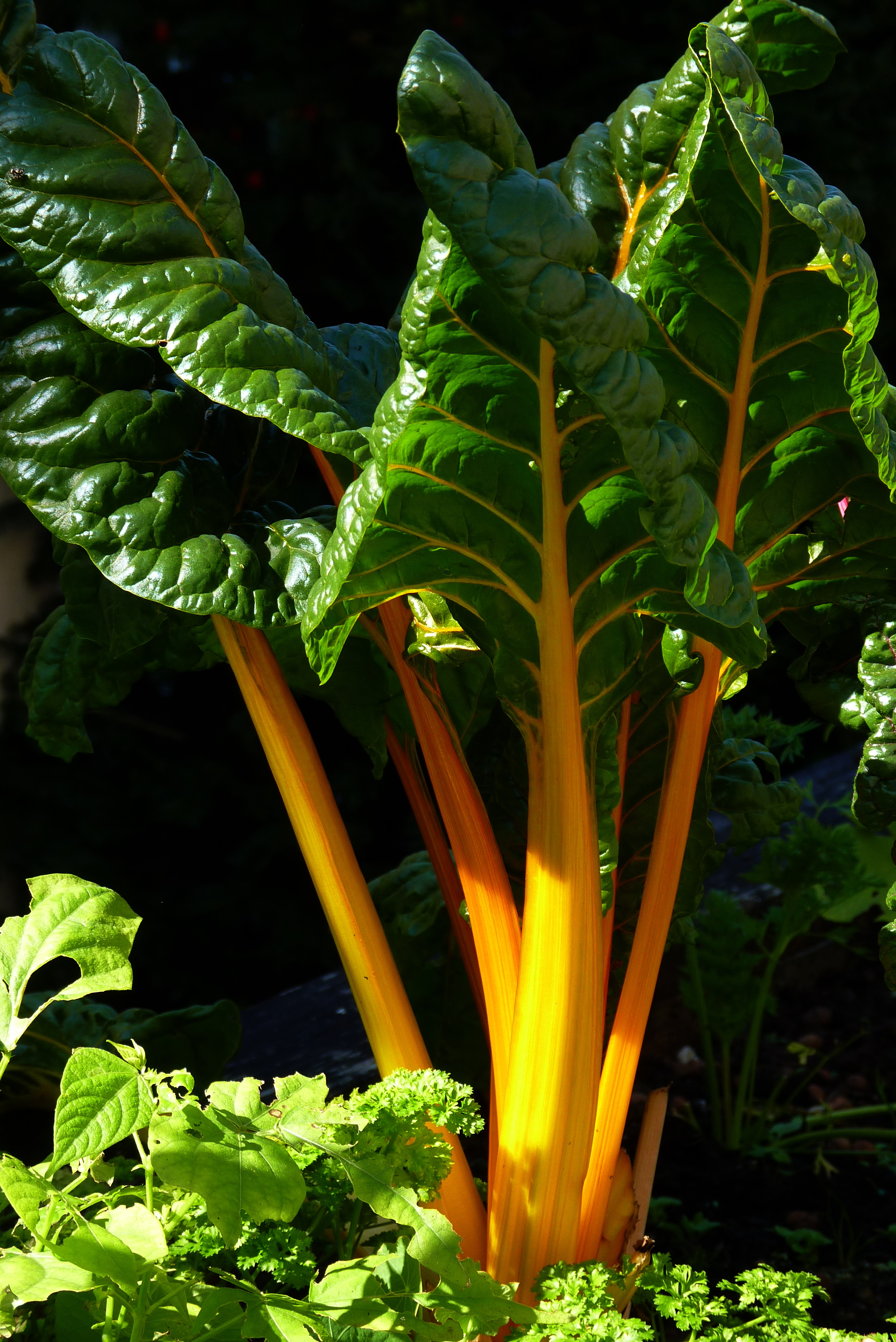 Chard with yellow stalks