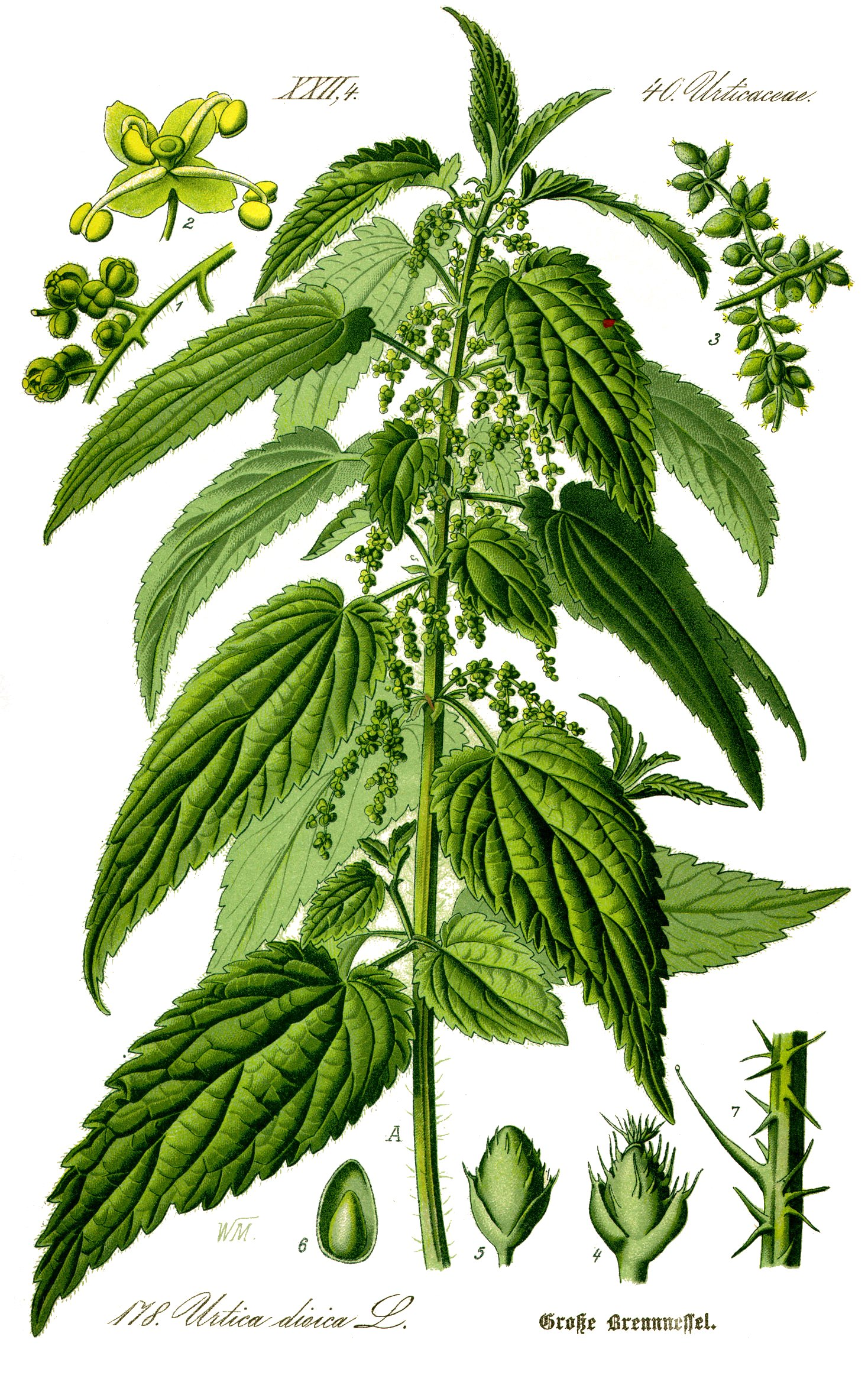 Illustration Urtica dioica0 clean