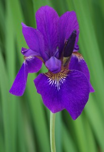Siberian Iris Iris sibirica Top Side View Green 2000px