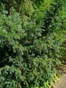 Taxus baccata 001