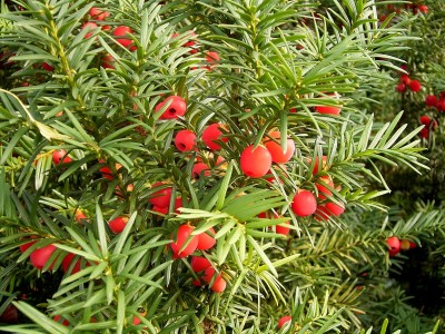 Taxus baccata 01 ies