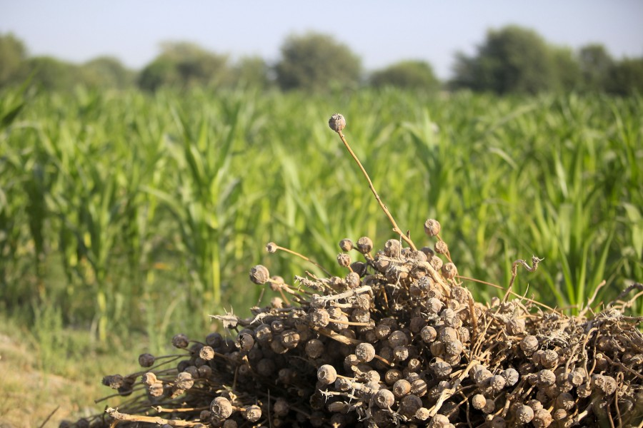 A pile of dried poppy plants sits in front of a fresh crop of sweet corn in the Nawa district of Helmand province