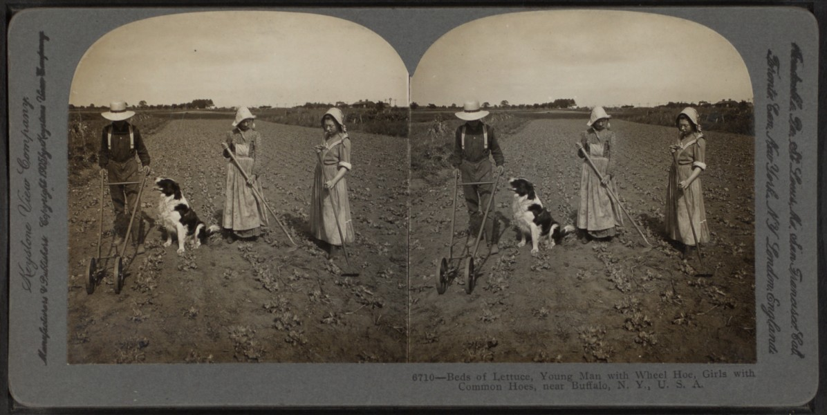 Beds of lettuce, young man with wheel hoe, girls with common hoes, near Buffalo, N.Y., U.S.A, from Robert N. Dennis collection of stereoscopic views