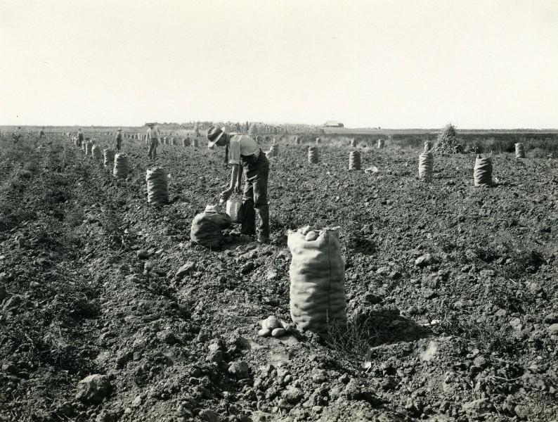 Boise Valley potato harvest