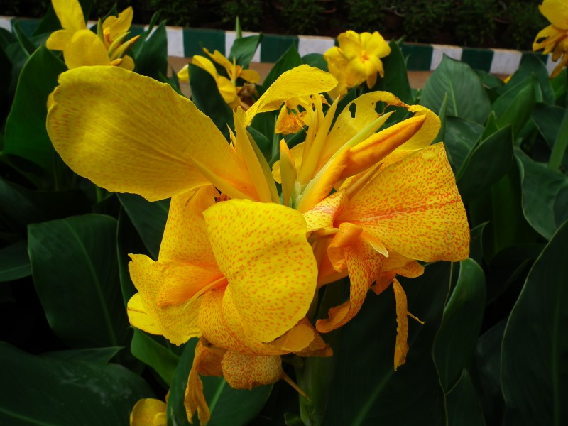 Canna from Lalbagh August 2012 4800