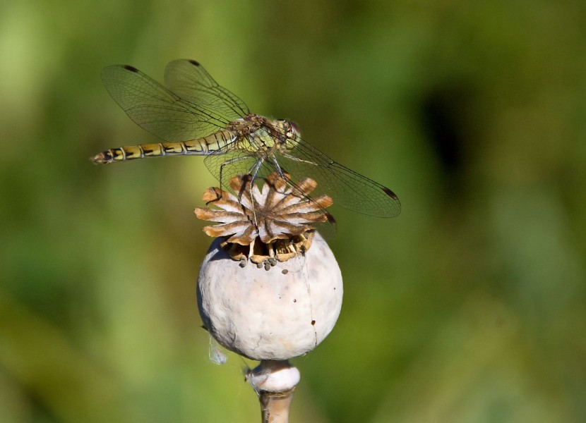 Dragonfly (4)